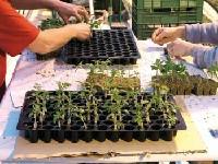 Sadzonki pomidora w wielodoniczkach- przygotowanie do sadzenia.
