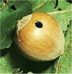 Ubytki w orzecha laskowych spowodowane obecnością Słonkowca orzechowca.